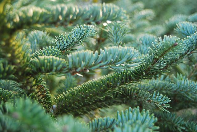 大溫哥華聖誕樹購買地點2012