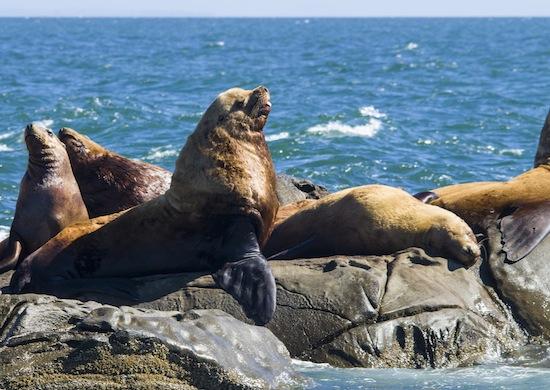 海獅來訪溫哥華