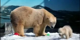 一隻在澳大利亞出生的北極熊將遷回祖籍國加拿大