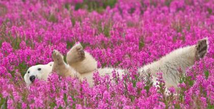加拿大花叢北極熊獲2015年最佳攝影照片之一