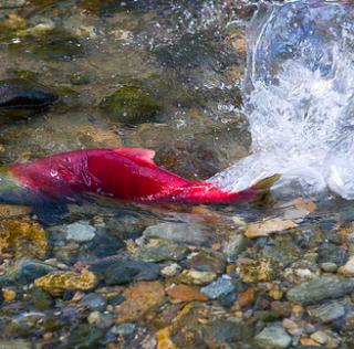 BC省哪里可以观看三文鱼回流 超全吐血整理
