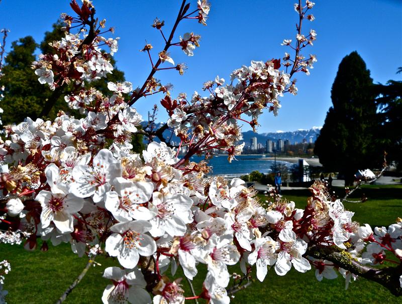 Cherry-Blossom-2