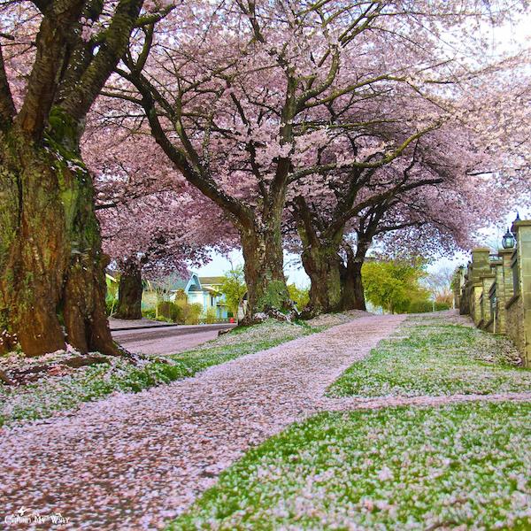 Vancouver-cherry-blossom-petals-snow