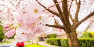 cherry-blossom-vancouver